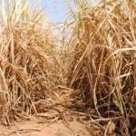 Seca se alastra pelo Estado e provoca perdas para o produtor rural