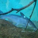 Pirá, peixe que está extinção no Velho Chico