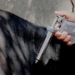 Vacinação contra a febre aftosa começa em maio