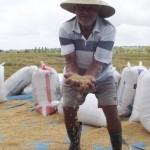 Produtores do Baixo São Francisco, em Alagoas, felizes com a nova variedade de arroz que é resistente à praga e é mais produtiva