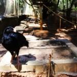 Mutum-de-alagoas é a ave de maior porte encontrada em toda a Mata Atlântica do Nordeste e será reintroduzida à natureza nesta sexta-feira (22) na Usina Utinga, em Rio Largo     Mutum-de-alagoas é a ave de maior porte encontrada em toda a Mata Atlântica do Nordeste
