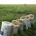 Safra de feijão de corda ajuda a incrementar a renda do agricultor