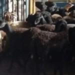 Ovinocaprinocultura alagoana está sendo beneficiada com novos estudos promovidos pela Fapeal