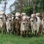Raça girolando leiteiro é destaque na Expoagro