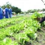 Produção de hortaliças no complexo penitenciário