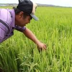 Agricultor observa satisfeito o bom desenvolvimento do arroz no campo
