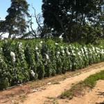 Ensacamento tem possibilitado garantia de tomate sadio e de maior renda para o produtor