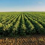 Plantio de soja se expande no Estado de Alagoas