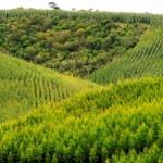 Plantio de eucalipto se expande no campo alagoano