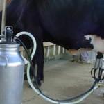 Cooperativa fortalece a produção de leite na agricultura familiar