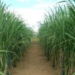 Preço da cana-de-açúcar volta a animar produtor
