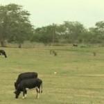 Inverno escasso tem reduzido a pastagem para os bovinos