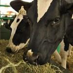 Silagem alimenta animais expostos na Expo Bacia