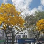 Ipês embelezam a capital alagoana
