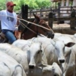 Vacinação do rebanho bovino contra aftosa teve início na Fazenda Alto Verde