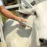 Vacinação contra a  febre aftosa