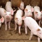 Criação de suínos apresenta boa rentabilidade e perspectiva de bons negócios