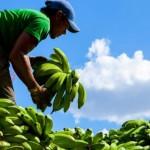 Banana tem contribuído para a redução do preço da cesta básica