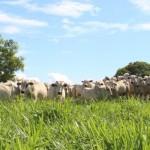 Genética Nelore de alto rendimento no campo e no bolso do produtor
