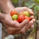 Agricultores familiares vão poder fornecer hortaliças para hospitais