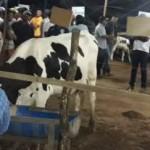 Pequenos produtores de leite conseguem evolução na genética do rebanho