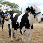 Novilhas da raça Girolando, possuidora de alta genética para a produção de leite