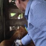 Adeal iniciou campanha de vacinação contra a raiva animal, e a expectativa é vacinar 100% do rebanho do Estado