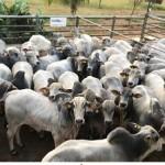 Nelore cada vez mais valorizado na pecuária nacional