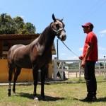 Criação de cavalos da raça Quarto de Milha cresce no Estado de Alagoas