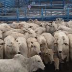 Animais da raça Nelore continuam a ganhar espaço na pecuária nacional