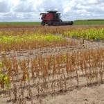 Cultura da soja em solo alagoano cresce e apresenta viabilidade