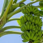 Cultivo de banana avança em Alagoas
