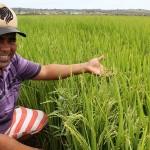 Agricultores e técnicos foram capacitados para ações de pesquisa e produção de arroz