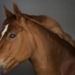 Influenza causa prejuízos sérios para os criadores de equinos