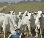 Confinamento de bovino proporciona rendimentos em curto tempo para o pecuarista