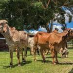 Agropecuária Pereira apresenta o melhor da raça girolando e gir leiteiro