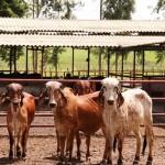 Agropecuária Pereira leiloa os melhores exemplares da raça Girolando