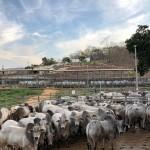 Rebanho bovino brasileiro está entre os maiores e melhores do mundo