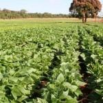 Cultivo do feijão cresceu no Nordeste neste ano de 2020 com regularidade das chuvas e mais crédito do Banco do Nordeste