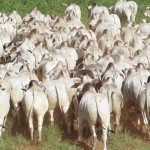 Rebanho Nelore tem alta demanda no mercado da bovinocultura de corte