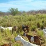 Caprinocultura é uma opção para o desenvolvimento rural