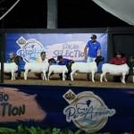Bovinos, equinos, ovinos e caprinos, a exemplo da raça Dorper, estarão à venda na Expoagro