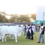 Bovinos da raça Nelore são destaques na Expoagro