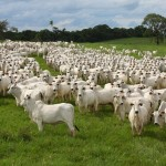 Rebanho da raça Nelore expressa a qualidade do bovino brasileiro