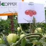 Produção agrícola de tomate em Viçosa começa a animar os agricultores familiares