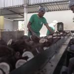 Segmento da coconicultura prevê tempos difíceis com a redução da mistura do biodiesel ao diesel