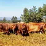 Rebanho da raça Montana está paulatinamente ganhando espaço na pecuária nacional
