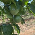 Fazenda Vera Cruz começa a produzir frutas, a exemplo do cultivo de maracujá