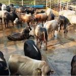 Tricoss Akaush também será ofertado se mostrando como mais uma oportunidade para a pecuária de corte nacional