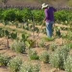 Cultivo de palma no semiárido ajuda a incrementar a renda das famílias e a sustentabilidade da meio rural